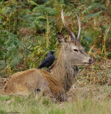 A brocket and blackbird